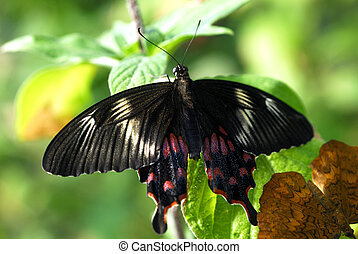 black brown Butterfly insect couple
