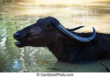 black buffalo swimming in the lake
