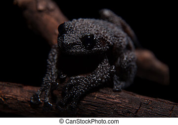 Black bug-eyed frog on black