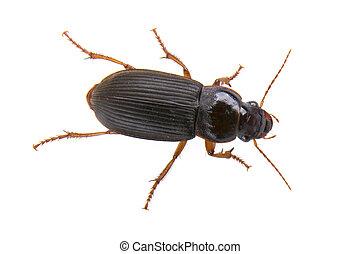 Black bug on a white background