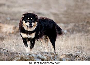 black bulgarian dog