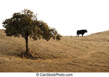 Black bull on a farm