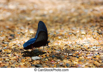 Black butterfly, Common Mormon (Papilio polytes romulus) in ...