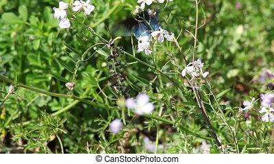 Black Butterfly Flittering From One - Black Butterfly...