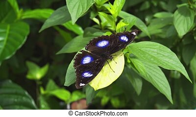 Black Butterfly with White Spots. Full HD 1080p video