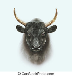 black camargue bull face portrait isolated on white background