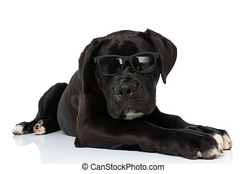 black cane corso dog wearing sunglasses and laying down in studio