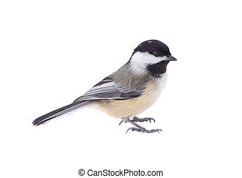black-capped, atricapilla, chickadee, poecile, aislado