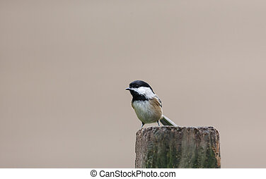 Black capped chickadee - A Black-capped chickadee bird at BC...