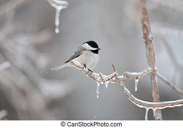 A black-capped chickadee perched on ice covered branch following winter storm.
