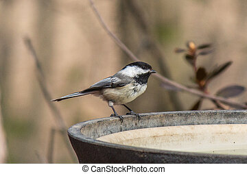 Black-capped Chickadee at birdbath - A black-capped...