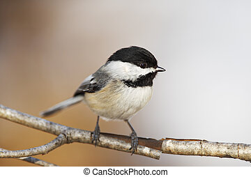 Black capped Chickadee bird on a branch with beautiful...