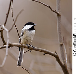 Black-capped Chickadee - Black-capped chickadee perched in a...