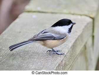 Black-capped chickadee perched on a fence in a park.