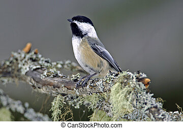 Black-capped Chickadee perched on branch covered in lichen