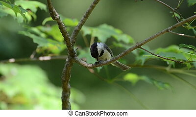 Black-capped chickadee - Chickadee eating a seed