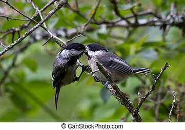Black capped Chickadee feeding a young bird