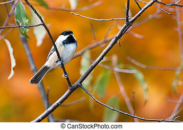 Black-Capped Chickadee in Autumn