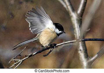 Black-capped Chickadee Perched On Branch Open Wing