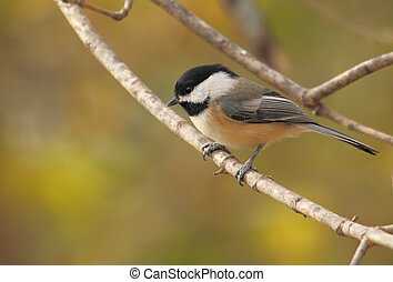Black-capped chickadee, Poecile atricapilla, perched on a tree branch with autumn colored background
