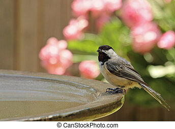 Black-capped chickadee, Poecile atricapilla, perched on a bird bath