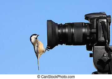 Black-capped Chickadee (poecile atricapilla) perched on the...