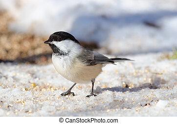 Black-capped Chickadee (Poecile atricapillus) - Black-capped...