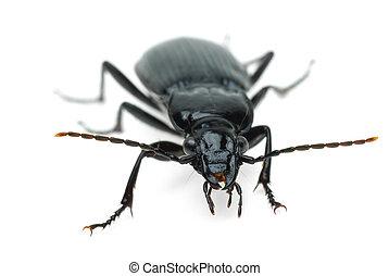 Black carabus beetle isolated on the white background