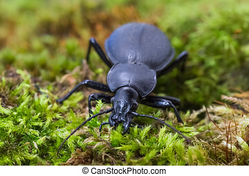 Black carabus on green mosse in the forest