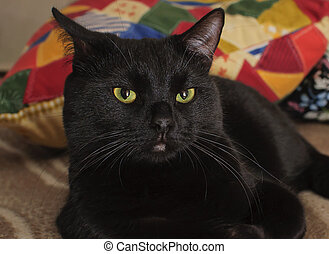 Black cat at home
