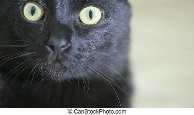 black cat close up. very beautiful cat