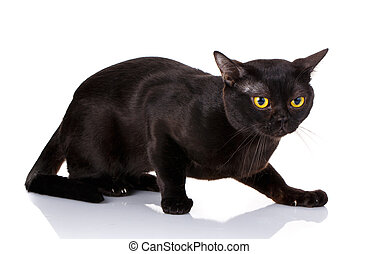 black cat crouched on a white background