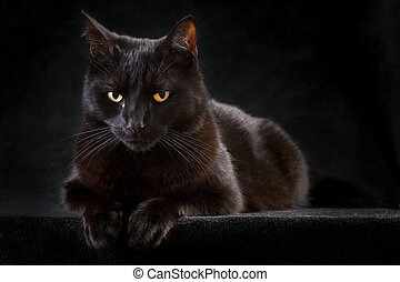 black cat domestic animal with beautiful eyes concept for animal friendship or spooky horror haloween