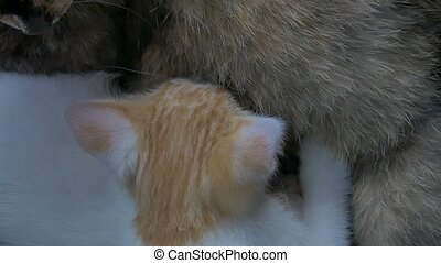 black cat feeding kittens sucking boob slow motion video -...