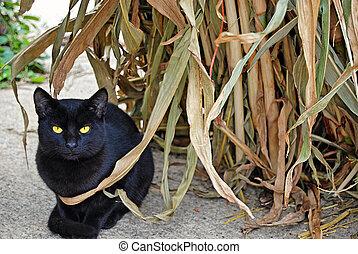 black cat in corn stalk - black cat crouching by autumn corn...
