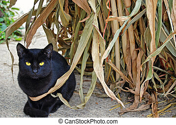 black cat in corn stalk - black cat crouching by autumn corn...