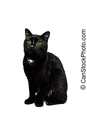 Black Cat Isolated over White