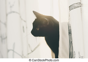 Black cat look out from curtains