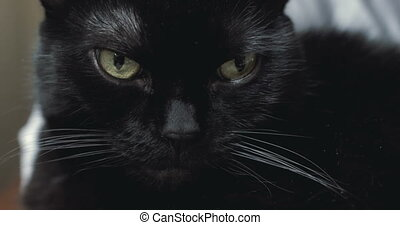 Black cat looking at camera - A spooky looking black cat...