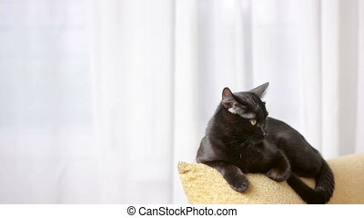 black cat lying on a chair and looks around.