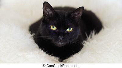Black Cat on a Sheepskin Rug. Cinema 4K.