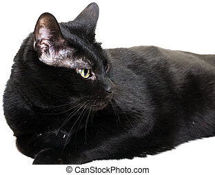 black cat over white looking to the right side of the image