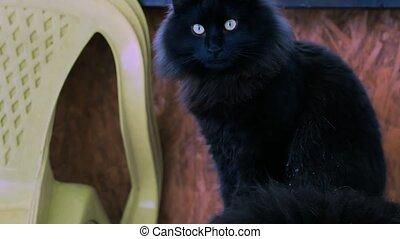 Black cat washes itself