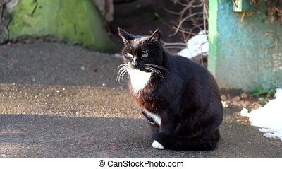 Black cat with a white collar sits on the asphalt, raised...