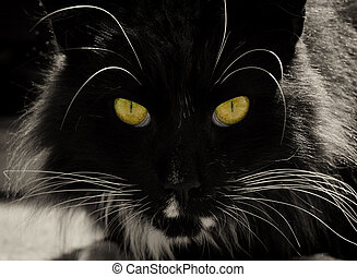 Detail of the black cat with animal bright yellow eyes. Male black cat head detail.