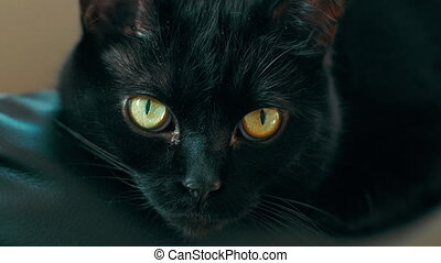 Black cat with yellow eyes in 4K. Loopable. - Loopable UHD...