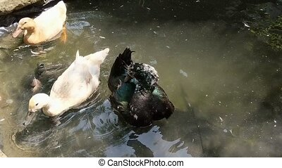 Black Cayuga duck on pond preening feathers after bathing. -...