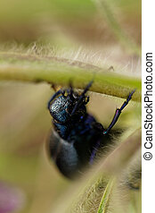 Black chafer - Close up photo of a big black chafer