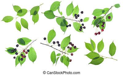 Black cherries branches set