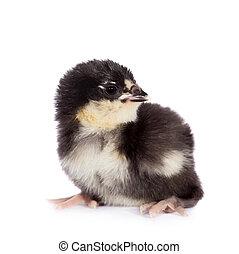 Black chick on white background